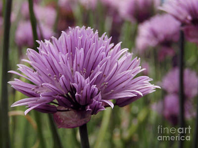 Photograph - Chive Flowers by Kim Tran