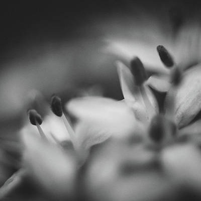 Chives Photograph - Chive I by Chris Dale
