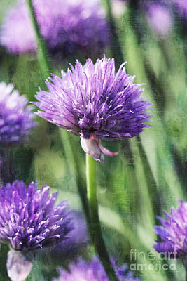 Photograph - Chives by Cindi Ressler