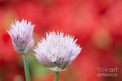 Gardens Photograph - Chives Flowers by Oscar Gutierrez