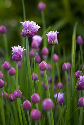 Photograph - Chives by Patrick Downey