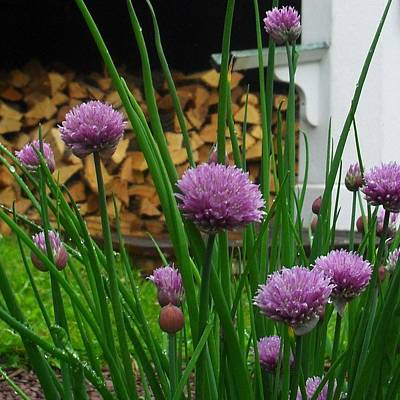 Photograph - Chives by Val Arie