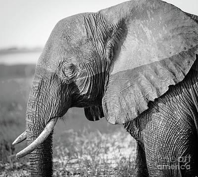 Chobe National Park Elephant Black And White Art Print