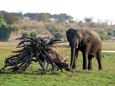 Photograph - Chobe River Elephant by Jennifer Wheatley Wolf