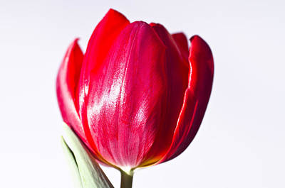 Photograph - Chock Full Of Tulip Bloom by Shelly Gunderson