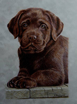 Chocolate Lab Drawing - Chocolate Baby by Debbie Stonebraker