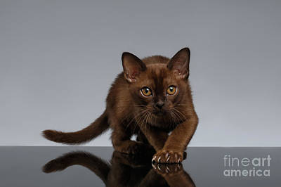 Chocolate Burma Cat Crouching On Gray  Print by Sergey Taran
