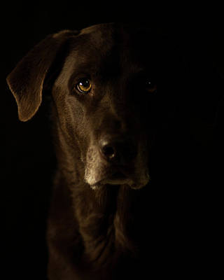 Photograph - Chocolate Lab by Erica Kinsella