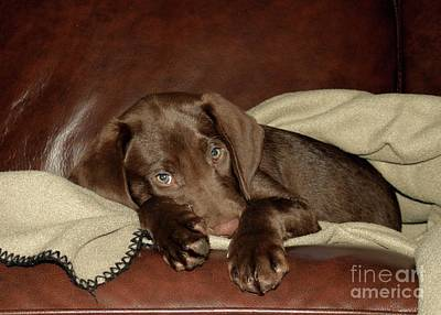 Photograph - Chocolate Lab Puppy by Kenny Glotfelty