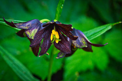 Photograph - Chocolate Lilies - Eagle Beach - Juneau Alaska by Cathy Mahnke