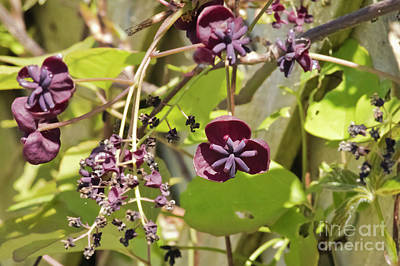Photograph - Chocolate Vine by Terri Waters