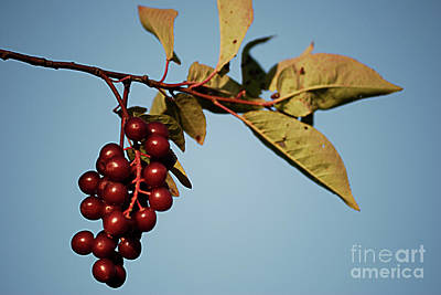 Choke Cherry Art Print