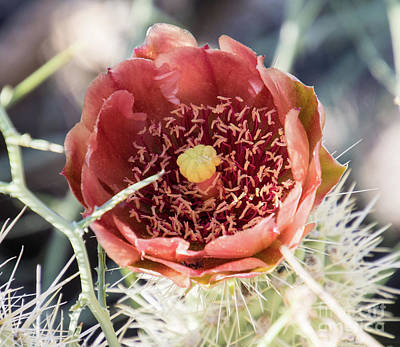 Photograph - Cholla   A9288-2 by Stephen Parker