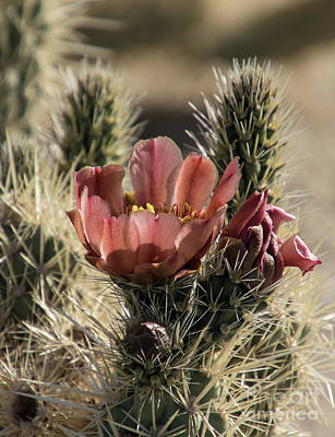 Photograph - Cholla A9291-2 by Stephen Parker