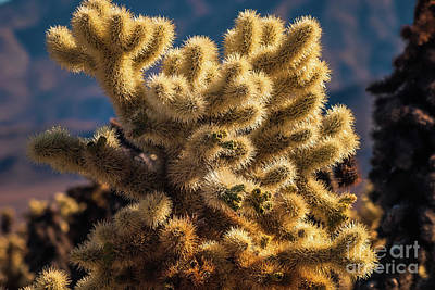 Photograph - Cholla Cactus #2 Joshua Tree National Park by Blake Webster