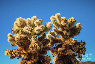 Photograph - Cholla Cactus #6 Joshua Tree National Park by Blake Webster