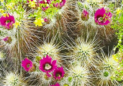 Photograph - Cholla Cactus Blooms by Judy Kennedy