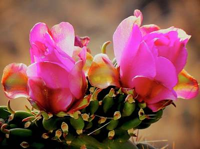 Photograph - Cholla Cactus Flower by Flying Z Photography by Zayne Diamond