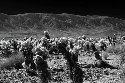 Photograph - Cholla Cactus Grove by Blake Webster