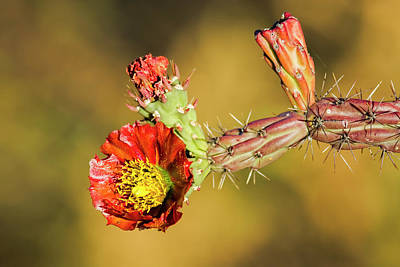 Photograph - Cholla Flower H37 by Mark Myhaver