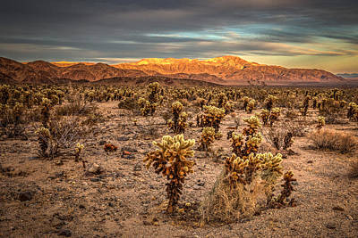 Joshua Tree National Park Photograph - Cholla Garden by Peter Tellone