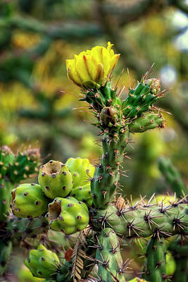 Photograph - Cholla In Spring V1810 by Mark Myhaver