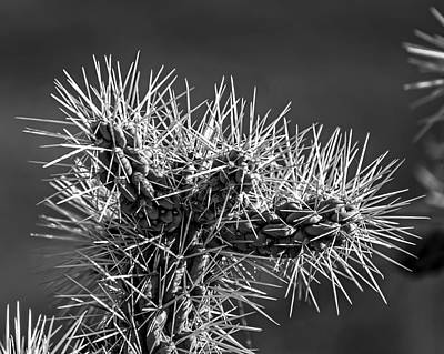 Photograph - Cholla Protection H1855 by Mark Myhaver