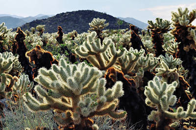 Photograph - Cholla Teddy Bear Cactus Garden Art by Kyle Hanson