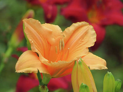 Photograph - Choral Angel And Buds - Daylily by MTBobbins Photography