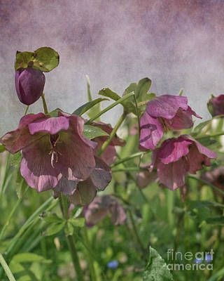 Photograph - Christmas Rose by Terri Waters