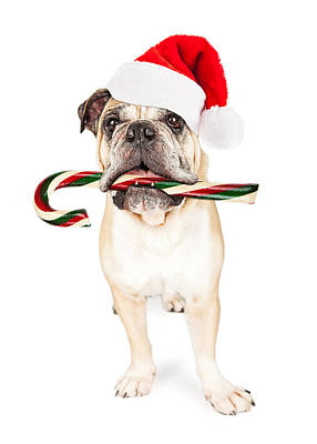 Christmas Bulldog Eating Candy Cane Print by Susan Schmitz