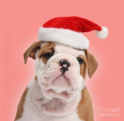 Photograph - Christmas Bulldog Pup by Warren Photographic