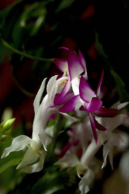Photograph - Christmas Cactus by B Wayne Mullins