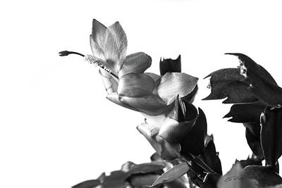 B Photograph - Christmas Cactus by Ed Cilley
