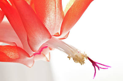 Photograph - Christmas Cactus Flower by Christine Amstutz