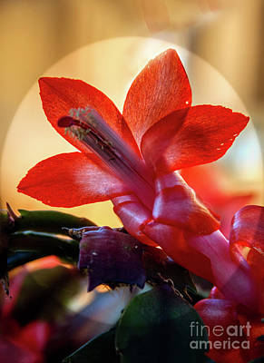Christmas Cactus Flower Art Print by Robert Bales