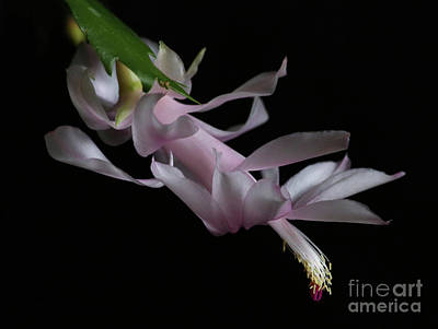 Photograph - Christmas Cactus by Marty Fancy