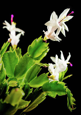 Photograph - Christmas Cactus by Nick Bywater