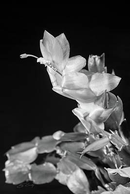 Photograph - Christmas Cactus On Black by Ed Cilley