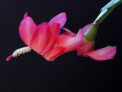 Christmas Cactus On Black Art Print by Farol Tomson