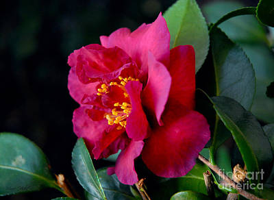 Photograph - Christmas Camellia by Marie Hicks