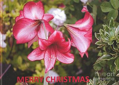 Photograph - Christmas Card - Amorillis by Rod Ismay