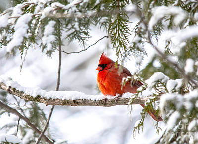 Photograph - Christmas Card Cardinal by Cheryl Baxter