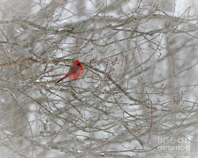 Photograph - Christmas Cardinal by Amy Porter