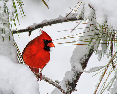 Photograph - Christmas Cardinal by Barbara Bowen