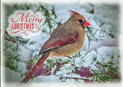 Photograph - Christmas Cardinal by Cathy Kovarik