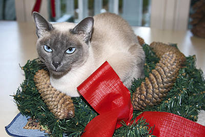 Tonkinese Photograph - Christmas Cat by Sally Weigand