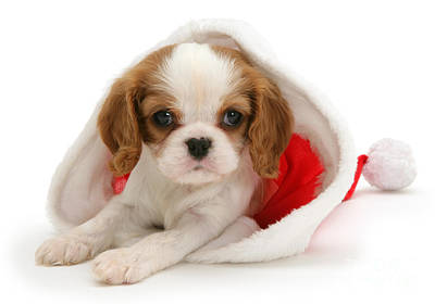 Photograph - Christmas Cavalier by Warren Photographic