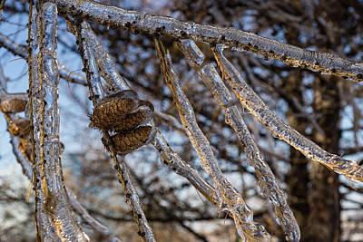 Photograph - Christmas Decorations By Mother Nature - Three Pine Cones Encapsulated In Ice by Georgia Mizuleva