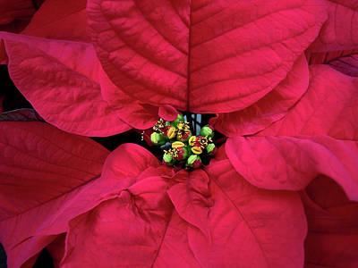 Photograph - Christmas Flower by Debbie Oppermann